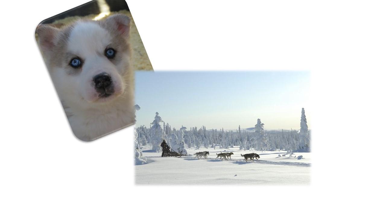 husky puppy and husky safari